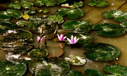 Even though a lotus flower is nourished by the mud, it is not of it but effortlessly shines regardless of where it appears to be. The image is grabbed from the web.